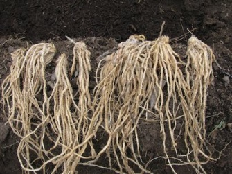 asparagus crown bare root stock
